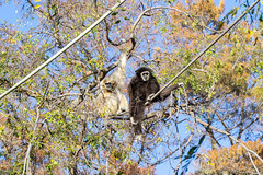 Siamang Monkeys (Tracysniche) Tags: california trees white west animal zoo oakland bay coast brother east monkeys norcal ropes gibbon siamang