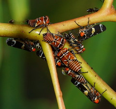Huddled up (ron_n_beths pics) Tags: westernaustralia hemiptera treehoppers
