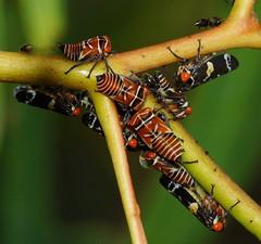 Huddled up (ron_n_beths pics) Tags: westernaustralia hemiptera treehoppers