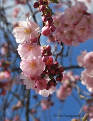 Sweet memories (Mwap38) Tags: pink blue sky flower tree outdoors spring nikon blossom branches springtime springflower cherr