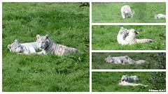 Bbs tigre blanc (Johanna Viala) Tags: zoo bebe animaux cerza tigreblanc