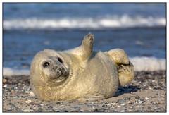 Baby seal - Baby van de grijze zeehond op Düne - Helgoland (Martha de Jong-Lantink) Tags: baby düne babyseal halichoerusgrypus greyseal helgoland 2015 grijzezeehond winterreis kegelrob winterreishelgoland plaatjesmakers