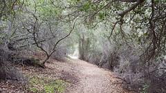 Beautiful old oak trees