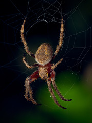 Charlet's Web (A Durst Photo) Tags: macro nature closeup fauna spider outdoor wildlife spiderweb things typeofphotography