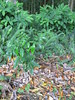 starr-120606-9545-Castanospermum_australe-seedlings_nearby-Kahanu_Gardens_Hana-Maui (Starr Environmental) Tags: castanospermumaustrale