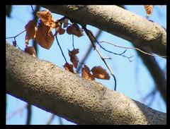 never fails to delight (Maewynia) Tags: tree sunshine leaf beech