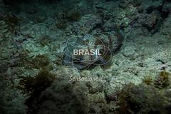 NE_Abrolhos0033 (Visit Brasil) Tags: horizontal brasil fauna natureza bahia nordeste detalhe externa abrolhos semgente subaqutica diurna