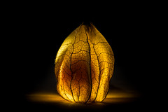 Physalis (drndwarp) Tags: pflanzen lowkey tabletop gegenlicht physalis frchte produktfotografie