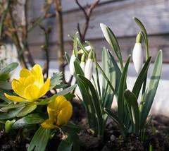 Vorgestern noch Frühling... (Stille Wasser) Tags: outdoor gelb lenz frühling blüten schneeglöckchen weis winterlinge rosenzweige