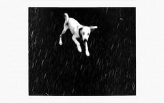 Raindog (P. Correia) Tags: dog portugal 2009 azores sãomiguel pcorreia pentaxoptiol30 littledoglaughednoiret