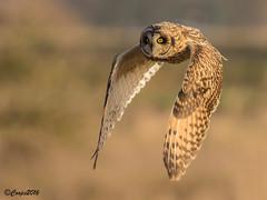 Short Eared Owl (Asio flammeus) (coopsphotomad) Tags: reeds photography eyes bokeh flight beak feathers raptor owl birdofprey shortie birdinflight birdphotography shortearedowl