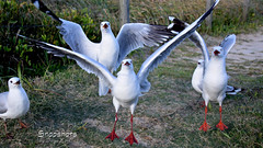_DSC5530 (dawnbordin) Tags: sea hot bird beach birds head seagull gulls flock flight chips hungry lennox