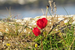 IMG_0011 (john blopus) Tags: flowers nature hellas greece  volos  alykes