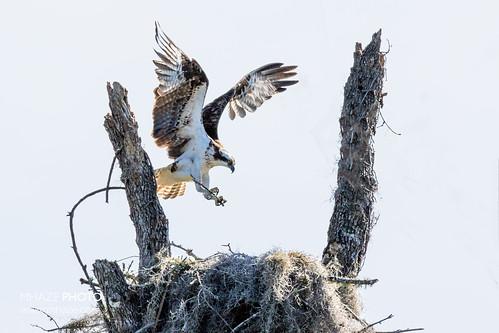 Field Goal Osprey Nest - Homosassa FL