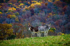 Mountain Asses (Ron Harbin Photography) Tags: townsendtnusa mountains fall colors asses donkeys autumn leaves beautiful colorful easttennessee