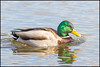 Mallard (Male) (John R Chandler) Tags: uk male bird duck unitedkingdom mallard coventry westmidlands warwickshire anasplatyrhynchos wildfowl brandonmarsh warwickshirewildlifetrust