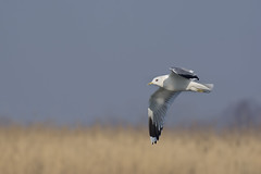 Gull in flight (arturry) Tags: sea bird nature animals wildlife gull flight mew mewa gullinflight