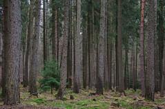 Mrchenwald (sduesterhus) Tags: tree nature forest landscape nikon outdoor natur landschaft wald bume spruce fichte hohemark d5000