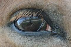 oh mais je te vois (planteymarielaure) Tags: horse brown cheval eyes oeil yeux reflet marron photographe poils cils