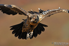 Juvenile Bearded Vulture (Living Canvas - Mitchell Krog) Tags: art nature birds southafrica wildlife vulture avian giantscastle drakensberg beardedvulture