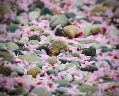 blossoms and stones (dotintime) Tags: pink texture cherry spring blossoms down fallen mixture meganlane dotintime