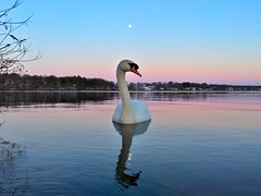 Swan at Horn Pond ((Jessica)) Tags: pink blue sunset moon reflection bird water beautiful animal boston mobile swimming reflections ma atardecer swan pond lowlight dusk wildlife massachusetts newengland floating calm symmetry luna fullmoon serene bluehour pajaro lunallena cisne tpe pw woburn lowangle iphone lowperspective puestadelsol hornpond iphoneography wildlifewednesday thephotographersephemeris iphone6s