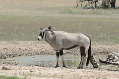 Curious Oryx in the Kalahari (zenseas : )) Tags: africa wild hot southafrica driving antlers safari waterhole kalahari oryx deformed antler wateringhole gemsbok selfdrive oryxgazella kgalagaditransfrontierpark curveddownwards