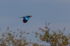 Gabelracke (Coracias caudatus) - Okavango, Namibia (Nov. 2015) (anschieber | niadahoam.de) Tags: namibia caprivi 2015 lilacbreastedroller okavangodelta gewonetroupant vgelbirdsaves afrikaafrica 201511 gabelrackecoraciascaudatus namibia2015 imflugflying 20151115
