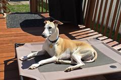 Deckoration (DiamondBonz) Tags: dog pet hound handsome whippet deck spanky dogchal