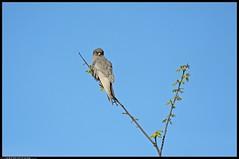 DSC_5724-04-08-1 -  falco cuculo (r.zap) Tags: falcovespertinus parcodelticino falcocuculo rzap cornarina