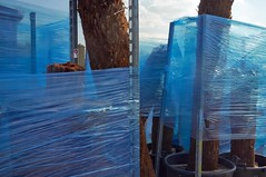 (geo_hill) Tags: blue trees forest palms wrapped container trunks cycad subtropical horticulture potplant polythene