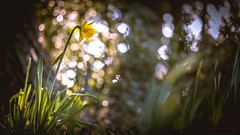 Signs of Spring (Augmented Reality Images (Getty Contributor)) Tags: trees light shadow flower macro nature sunshine forest canon scotland spring bokeh perthshire daffodil clearing