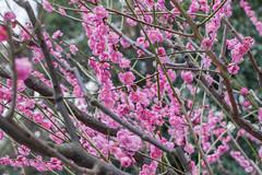 Higashiyama20160221d (FJK80046) Tags: flower plum  ume  aichi   higashiyama   higashiyamabotanicalgarden