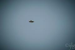 17042016DSC_0140.jpg (Ignacio Javier ( Nacho)) Tags: espaa flickr aves es facebook castillaylen naturea faunayflora sargentesdelalora