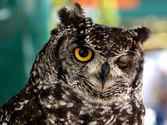 """Hello Cheeky!"" (SteveJM2009) Tags: uk colour dill eyes focus dof character beak owl april salisbury wiltshire plumage stevemaskell 2016 wilts buboafricanus africanspottedeagleowl swanrescuesanctuary"