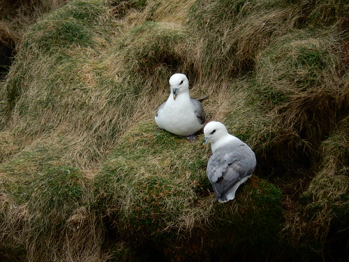 Two fulmars, 2016 Mar 19 -- photo 5