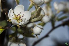 pero (mirkopizzaballa) Tags: macro primavera nikon fiori nikkor pero insetti polline macroworld fiorellini nikkor50mmaf