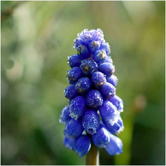 Muscari Armeniacum........... (atsjebosma) Tags: blue flower droplets spring bokeh dew april lente dauw muscari grapehyacinth 2016 groningenthenetherlands blauwedruifjes druppeltjes atsjebosma
