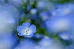 Crazy for you... (Minami45) Tags: blue baby japan eyes five spot fujifilm nemophila  xpro1