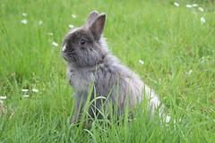 IMG_4737 (lucardi.davide) Tags: prato animale coniglio fattoria attenti coniglionano