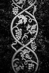 Twisting (pillarsoflight) Tags: black leaves silver leaf grapes vignette twisting