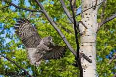GG23 (Sam Parks Photography) Tags: trees wild summer usa bird nature animal forest rockies rodent fly flying inflight spring wings woods nps wildlife unitedstatesofamerica ghost hunting feathers meadow aves raptor northamerica rockymountains hunter prey wyoming greatgrayowl soaring phantom predator carnivorous naturalworld jacksonhole avian soar hunt tetonrange parkservice strigiformes grandtetonnationalpark predatory aspentree strixnebulosa predation gye mountainous carnivora strigidae gtnp greateryellowstoneecosystem aspenstand horizontalorientation carniore