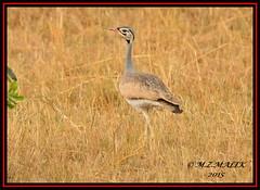 WHITE-BELLIED BUSTARD (Eupodotis senegalensis canicollis)......MASAI MARA.....SEPT 2015. (M Z Malik) Tags: nikon kenya wildlife safari kws masaimara d3x exoticafricanbirds exoticafricanwildlife 200400mm14afs