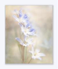 Stars (BirgittaSjostedt.) Tags: blue flower art nature garden spring paint bright unique pastel petal highkey scilla legacy pistils txture photoborder magicunicornverybest birgittasjostedt