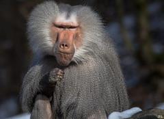 Was guckst du?! (roland_lehnhardt) Tags: nature animals munich zoo monkey tiere tierpark hellabrunn pavian papio hamadryas mantelpavian tierportrait naturemasterclass eos60d