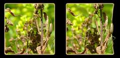 Web Spider, Possibly a Long-jawed Orb Weaver, Tetragnathidae - Crosseye 3D (DarkOnus) Tags: macro closeup insect lumix spider stereogram 3d crosseye pennsylvania framed web orb panasonic stereo weaver stereography buckscounty oof oob tetragnathidae crossview longjawed ttw dmcfz35 darkonus