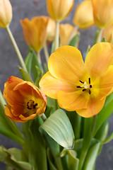 Bouquet of Tulips (Transient Eternal) Tags: flowers plants color green leaves yellow gold petals colorful soft tulips postcard softness decoration celebration event stamen stems bouquet decor tulipa lilioideae