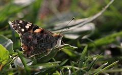 Riposo (lincerosso) Tags: primavera butterflies riposo prato bellezza insetti vanessacardui farfalle mimetismo armonia vanessadelcardo
