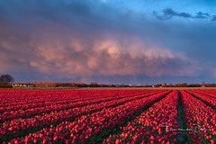 Strong tulips