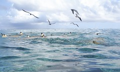 Sharks Dorsal Fins and Frigate Birds (Craigs Travels) Tags: ocean snorkeling southpacific sharks tahiti borabora frenchpolynesia societyislands frigatebirds lagoonsafari raanui